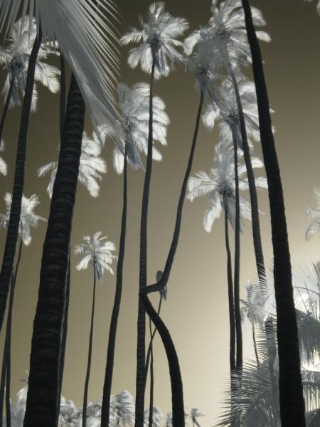 Waving Palms Infrared W