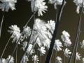 Windy Palms Infrared W